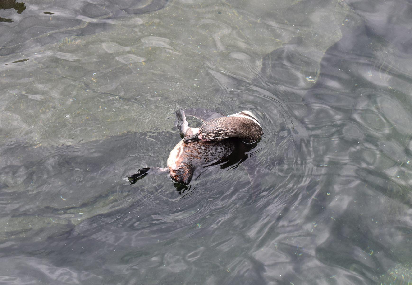 Pinguïn in water