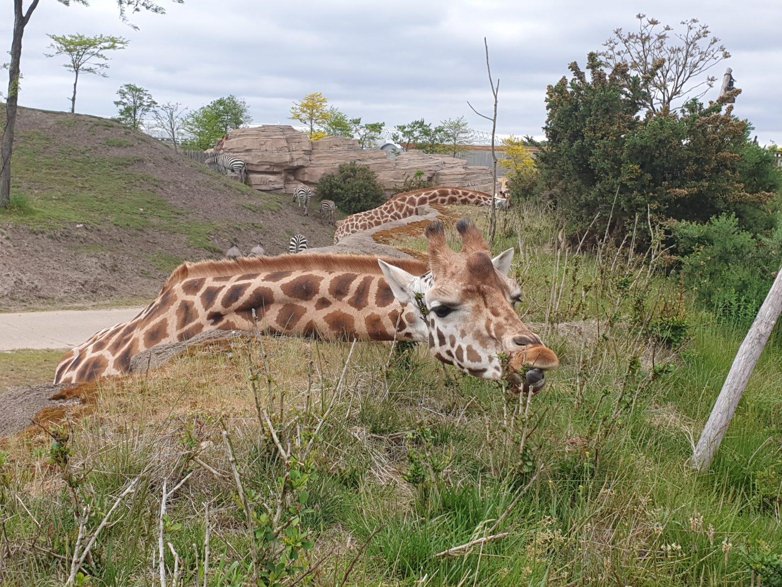 Giraf dierentuin