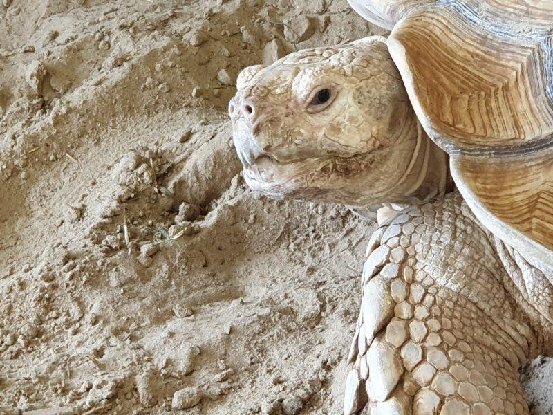 kop schildpad