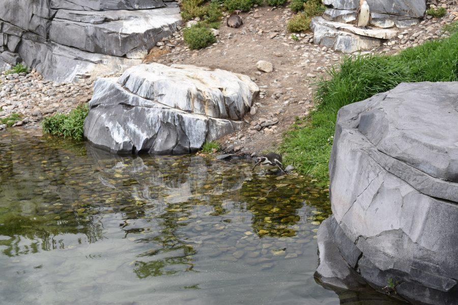 Humboldtpinguin springt in water