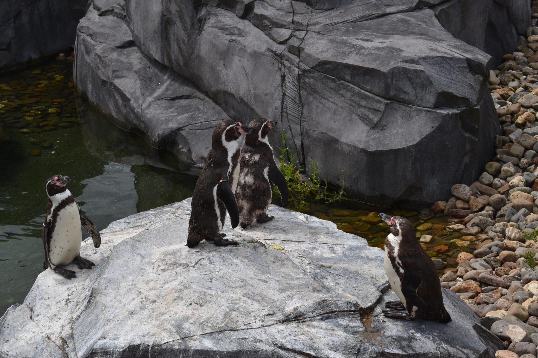 Humboldtpinguins op rots