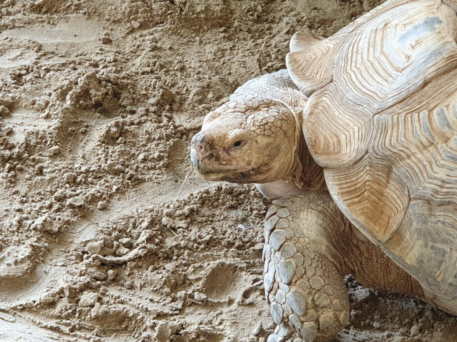 hoofd sporenschildpad