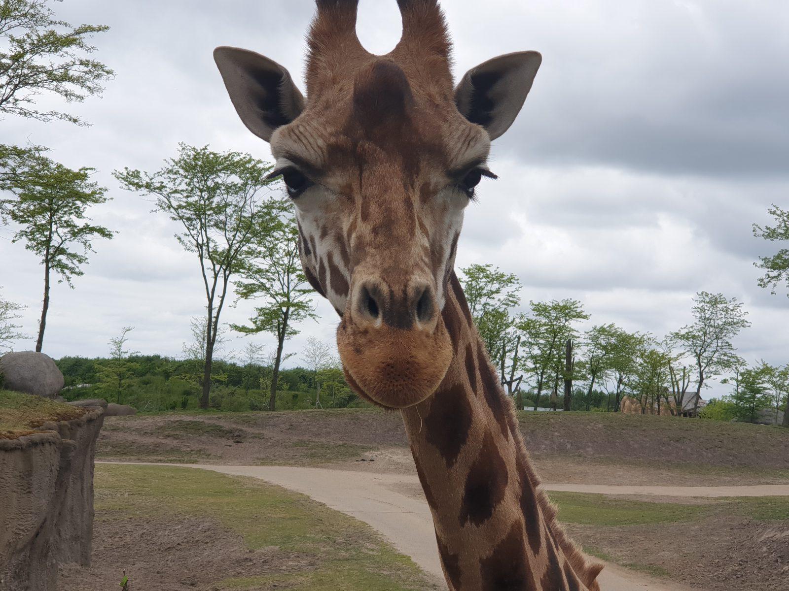 lachende giraf